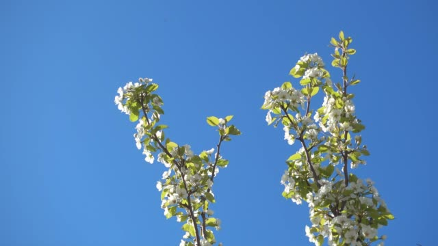 beautiful apple tree branches with flowers and clear blue sky. - albicocco video stock e b–roll