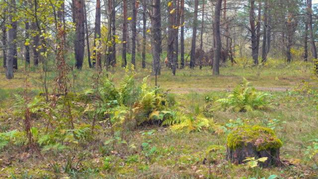 schönen herbstlichen wald, kleine bewegung gras und bäumen. - baumgruppe stock-videos und b-roll-filmmaterial