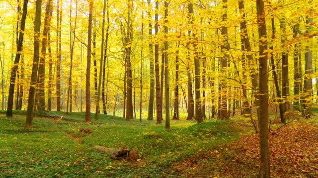 HD DOLLY: Beautiful Autumn Forest video