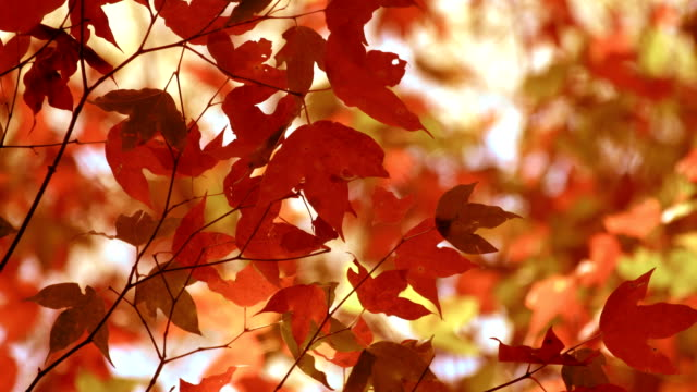 Beautiful autumn orange colors of maple leaves, slightly waving in the autumn wind. video