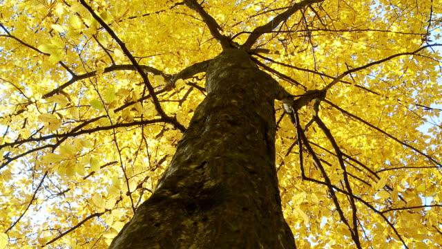 HD DOLLY: Beautiful Autumn Tree video