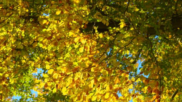 vídeos de stock, filmes e b-roll de belas árvores de outono câmera pan - setembro amarelo