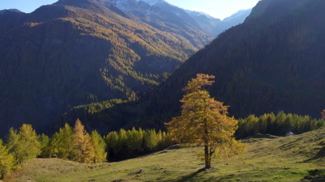 schönes herbsttal der europäischen alpen mit den leuchtend orangen bäumen, die vom sonnenlicht beleuchtet werden - kieferngewächse stock-videos und b-roll-filmmaterial