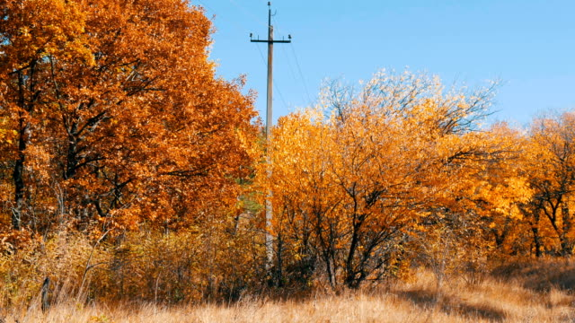 Beautiful autumn yellow trees in a forest. Autumn foliage falls to the ground video
