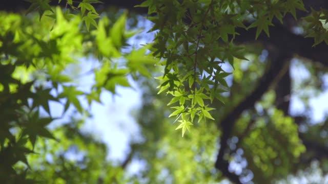 beautiful autumnal leaves bathed in light - hiroshima filmów i materiałów b-roll