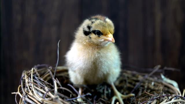 beautiful baby chicken - młody ptak filmów i materiałów b-roll