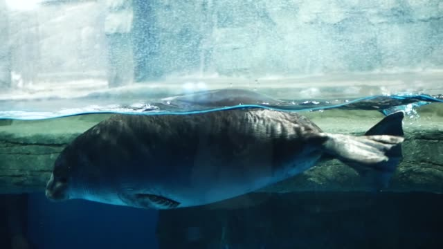 vídeos de stock e filmes b-roll de beautiful baikal seals swim and frolic in the zoo pool - lago baikal