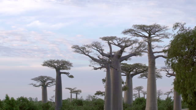 schönen baobab-bäume in der allee der baobabs in madagaskar - affenbrotbaum stock-videos und b-roll-filmmaterial
