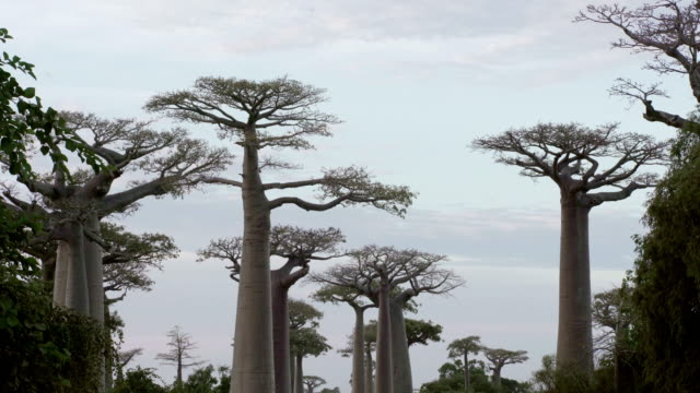 Beautiful Baobab trees at the avenue of the baobabs in Madagascar Beautiful Baobab trees at the avenue of the baobabs. Typical Madagascar landscape. baobab tree stock videos & royalty-free footage