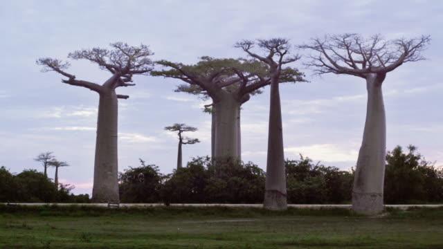 schönen baobab-bäume in der allee der baobabs in madagaskar - morondava stock-videos und b-roll-filmmaterial