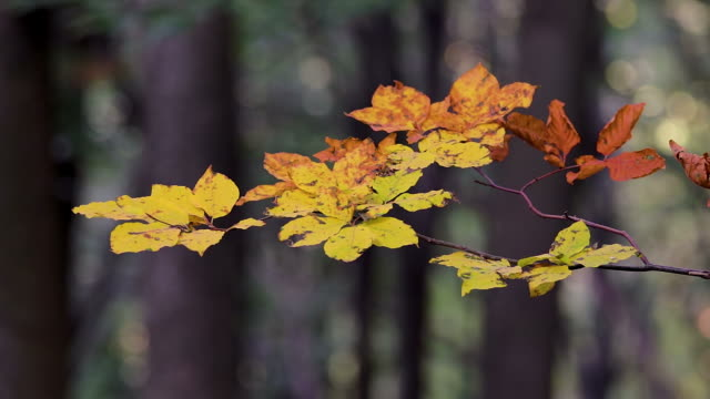 Beautiful beech leaves in a autumn forest – film