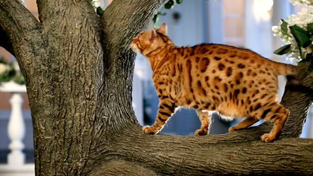 Best Bengal Cat Stock Videos and Royalty-Free Footage - iStock