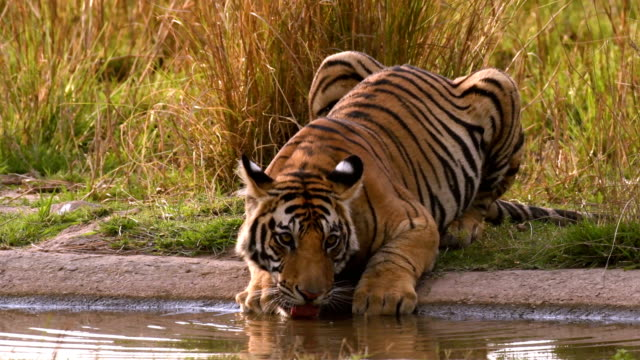 güzel bir bengal kaplanı (panthera tigris) içme suyu - kaplan stok videoları ve detay görüntü çekimi