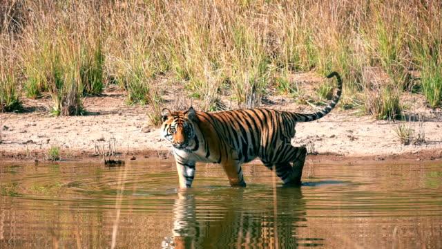 vidéos et rushes de une belle eau potable de tigre du bengale (panthera tigris) - animaux à l'état sauvage