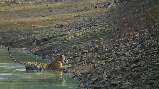 A beautiful bengal tigress Maya walking in the forest of Tadoba Andhari Tiger Reserve in slow motion