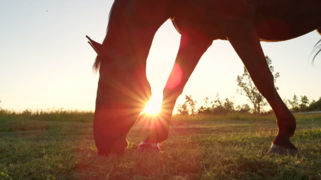 SLOW MOTION: Beautiful big black stallion grazing grass on sunny meadow field