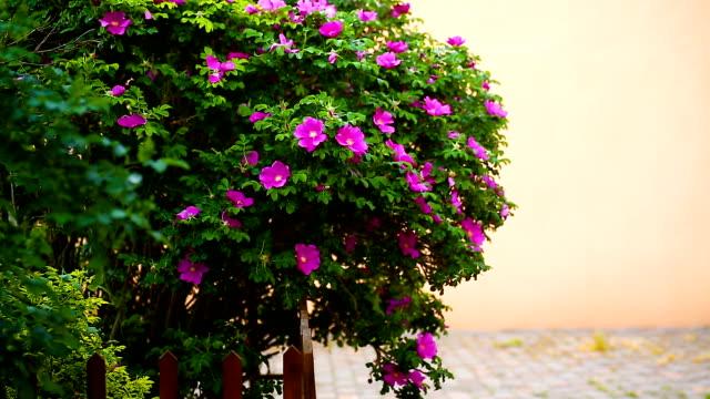開花の花を持つ美しい大きなローズヒップ ブッシュ - イヌバラ点の映像素材/bロール