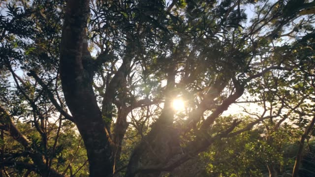 vídeos de stock e filmes b-roll de beautiful big tree in the forest, leaves and branches swaying against sunrise. - oscilar