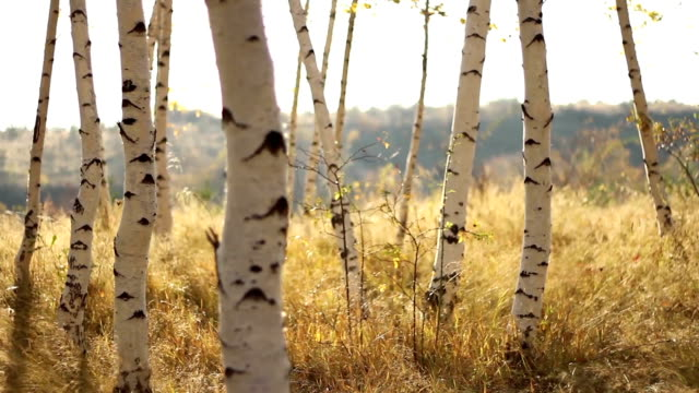 Beautiful Birch Forest Autumn Colors Yellow Grass video