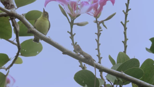 Beautiful bird  and lizard,4K video. Juvenile sunbird perching side by side with lizard on orchid tree branch  in windy and early morning mist . vascular plants stock videos & royalty-free footage