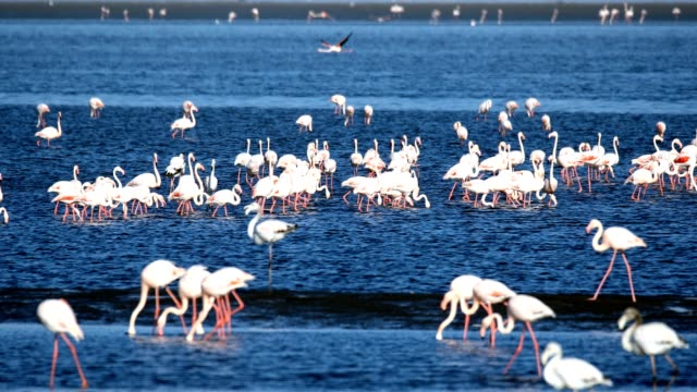 beautiful bird Rosy Flamingo in Walvis Bay reservation, Namibia, Safari wildlife Rosy Flamingo colony in Walvis Bay Namibia swakopmund stock videos & royalty-free footage