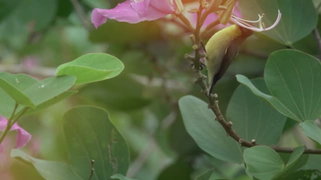 schöner vogel mit rosa blüten, 4k video. - grundstück stock-videos und b-roll-filmmaterial