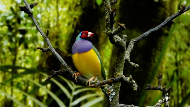 Beautiful birds Guldova Amadina video