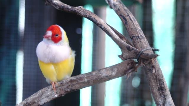 beautiful birds guldova amadina - appollaiarsi video stock e b–roll