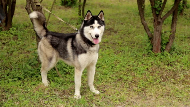 beautiful black and white husky dog in the park in the spring. - cane husky video stock e b–roll