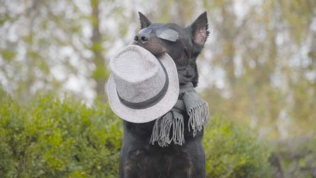 beautiful black doberman in sunglasses and grey scarf holding grey hat in mouth and waving paw. dog posing in the autumn park. - affidabilità video stock e b–roll