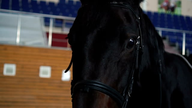 Beautiful black horse posing for a portrait video