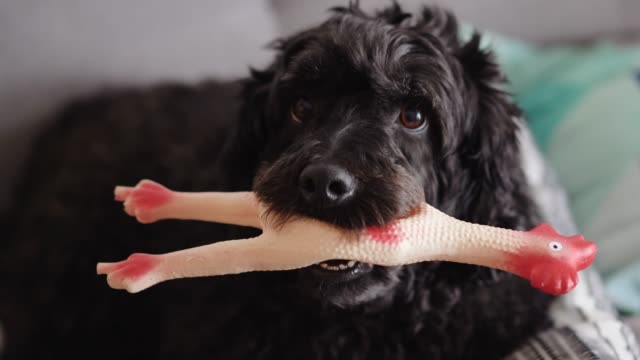 Beautiful Black Poodle Playing With Chicken Toy