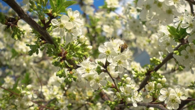 beautiful blooming cherry and bee collects nectar. slow motion video, 240 fps. - albicocco video stock e b–roll