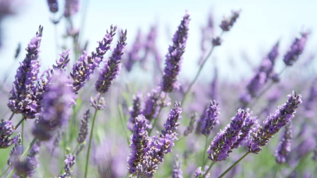 vídeos de stock e filmes b-roll de grande plano : bonito flores a desabrochar lavanda balançando no vento - oscilar