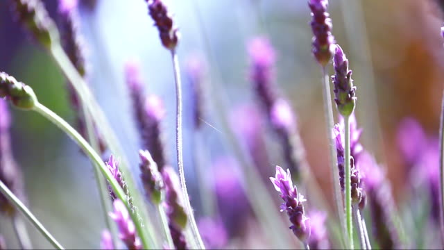 Beautiful Blooming Lavender Flowers Swaying In The Wind video