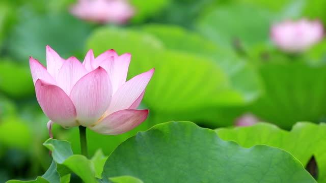 beautiful blooming lotus flower in pond video