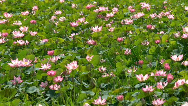 beautiful blooming lotus flower pond