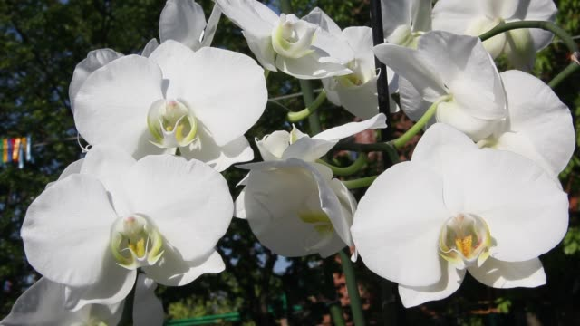 Beautiful blooming Orchid Beautiful Orchid flowers blooming in the garden. flower pot stock videos & royalty-free footage