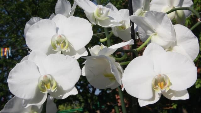 schöne blühende orchidee - orchidee stock-videos und b-roll-filmmaterial