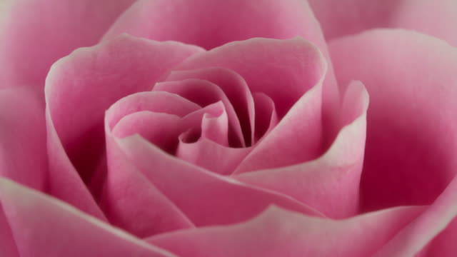 vídeos de stock e filmes b-roll de beautiful blooming pink rose closeup - rosa flor