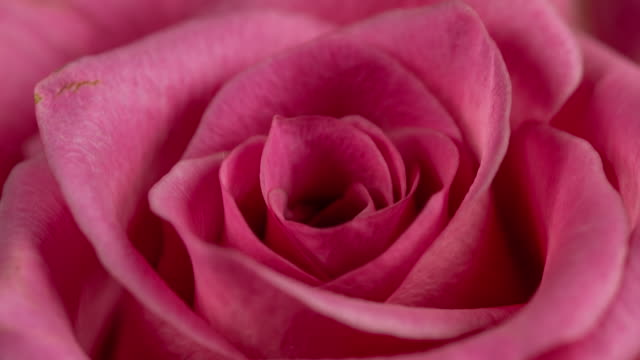 Beautiful Blooming Pink Rose Closeup