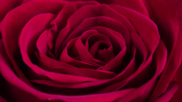 beautiful blooming red rose closeup - bouquet video stock e b–roll