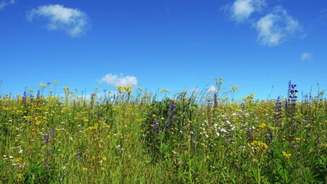 Beautiful blooming summer field. video