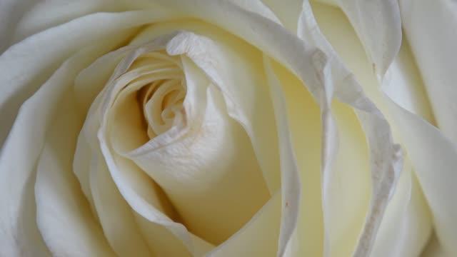 vackra blommande vita rose närbild pan - white roses bildbanksvideor och videomaterial från bakom kulisserna