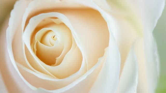 vackra blommande vit ros närbild - white roses bildbanksvideor och videomaterial från bakom kulisserna
