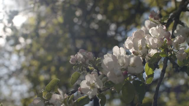 Beautiful blossoming cherry branch waving outdoors in spring garden  on shallow background. Close up blooming tree growing in park slow motion. Floral wallpaper fragile environment ecology concept