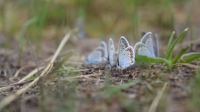 Beautiful blue butterflies - Icarus Polyommatus close-up sit in the grass on the meadow.