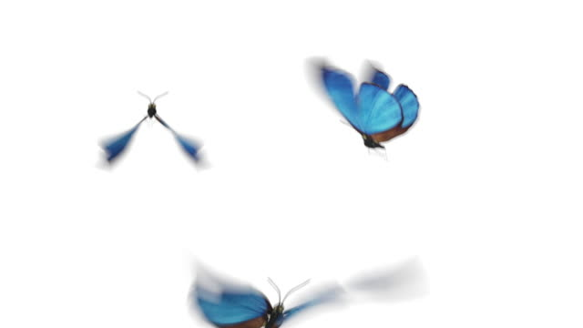 Beautiful Blue Colored Butterflies Morpho Menelaus Fly Close-up into the Frame from Behind Camera, Sit Down, Fly Away. White Green Backgrounds. Loop-able 3d Animation Alpha.