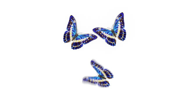 Beautiful Blue Colored Butterflies Morpho Menelaus Fly into the Screen, Sit Down and Fly Away. White Green Backgrounds Close-up. Loop-able 3d Animation with Alpha Channel.