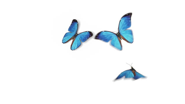 Beautiful Blue Colored Butterflies Morpho Menelaus Fly into the Screen, Sit Down and Fly Away. White Green Backgrounds Close-up. Loop-able 3d Animation with Alpha Channel. Beautiful Blue Colored Butterflies Morpho Menelaus Fly into the Screen, Sit Down and Fly Away. White Green Backgrounds Close-up. Loop-able 3d Animation with Alpha Channel. 4k Ultra HD 3840x2160. butterfly stock videos & royalty-free footage